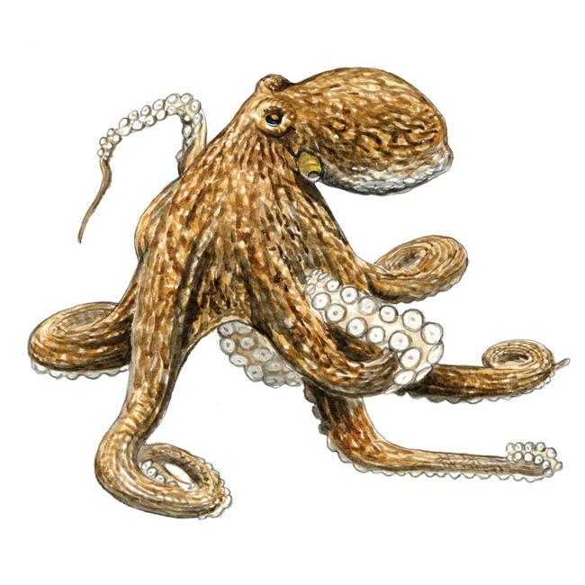 poulpe-commun