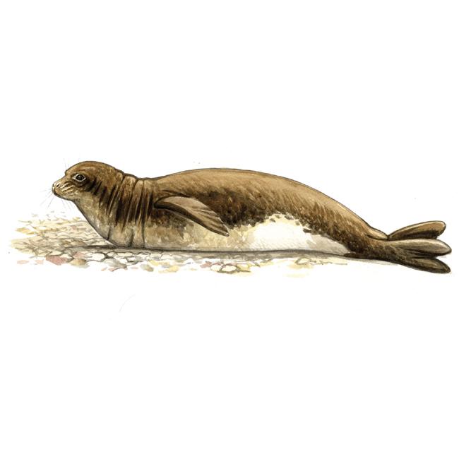 phoque-dde-mediterranee-mal
