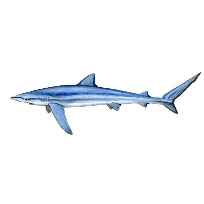 requin-bleu-def
