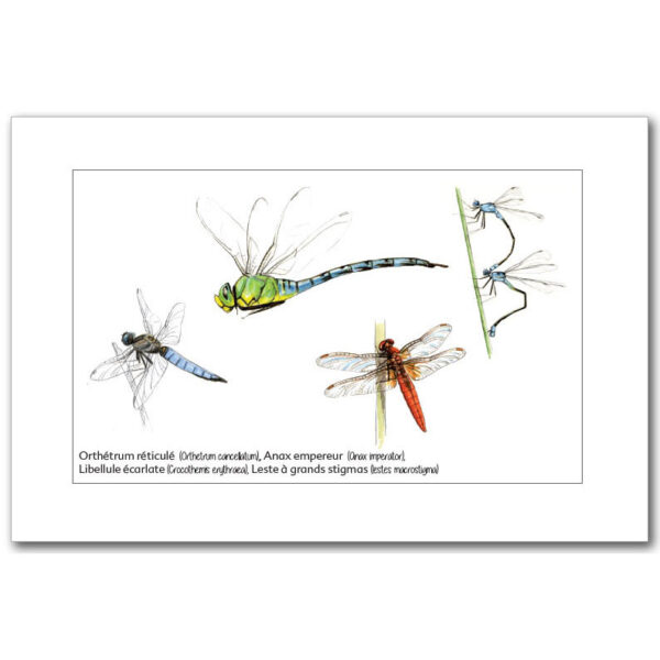 libellules-1 copy