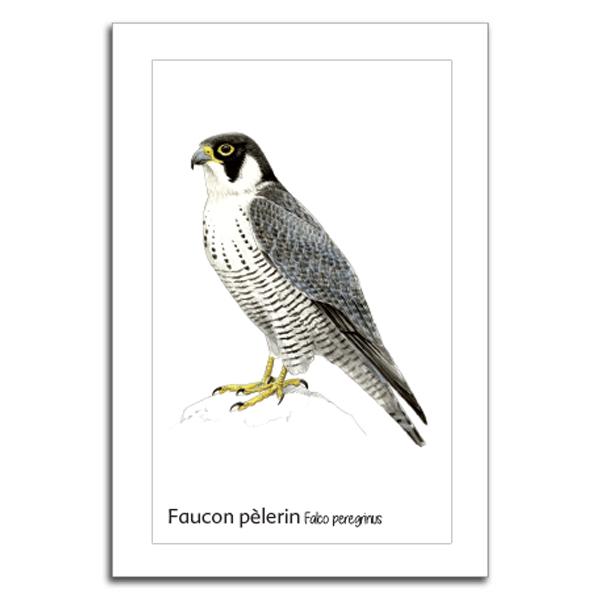 faucon pelerin copy-1