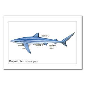 requin bleu copy