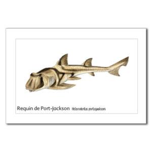 requin de port JAckson copy