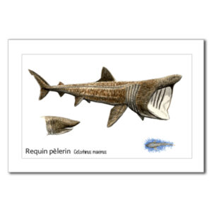 requin pelerin copy